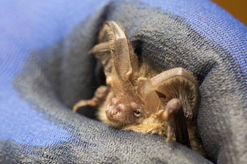 Brown long-eared bat. Photo by Michael Walker